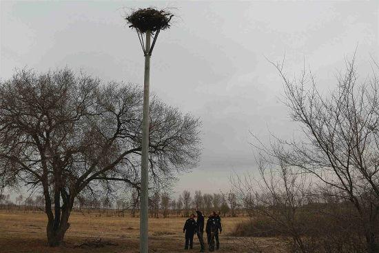 巡护东方白鹳人工鸟巢
