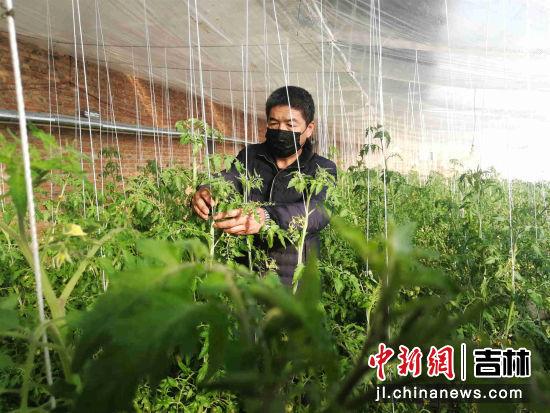 黑泡镇的玉武采摘园,农户王玉武正在给柿子掐尖打杈