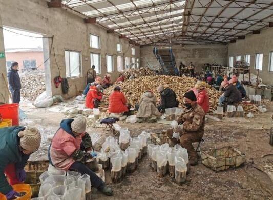 村民在生产基地制作桑黄菌段