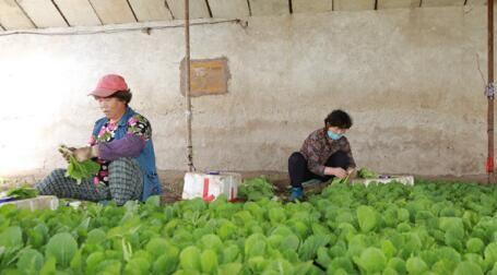 村民将小白菜打捆 王栋 摄