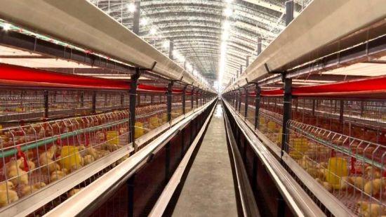 年出栏50万只肉食鸡养殖项目在安图落户