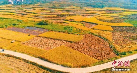 资料图:金色的田野。邓和平 摄