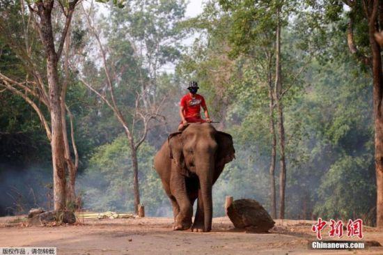 """因受到新冠肺炎疫情影响,旅游热门地泰国变得冷清,由于没有游客光顾,在泰国不少从事""""旅游行业""""的大象迎来了休闲时光。"""