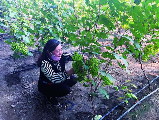 华家镇边岗村的扶贫大棚里绿果串串,迎来采摘旺季。<br/> 梁闯/摄