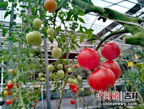 高新无土栽培区种植的农作物已经结果 高龙安/摄