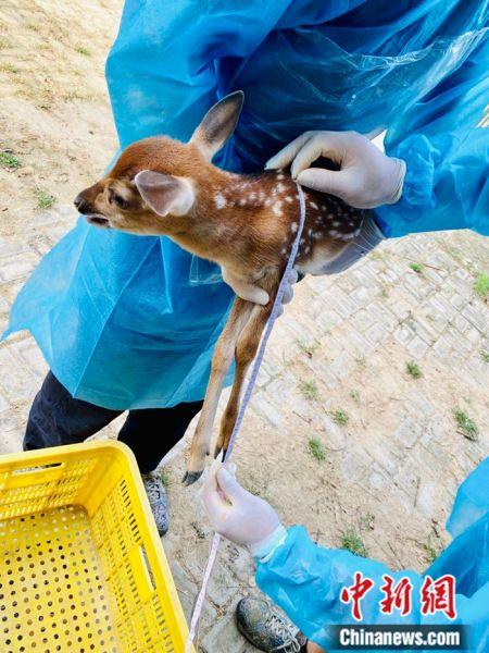 """台湾赠大陆梅花鹿""""点点""""在威海诞下第九胎,新生小鹿为雄性,各项指标正常。 方嘉程 摄"""