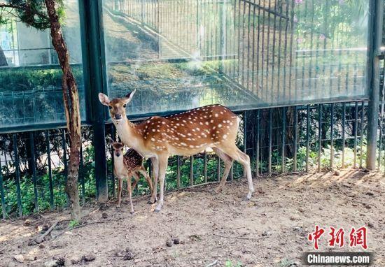 新生小鹿与鹿妈妈形影不离。 方嘉程 摄