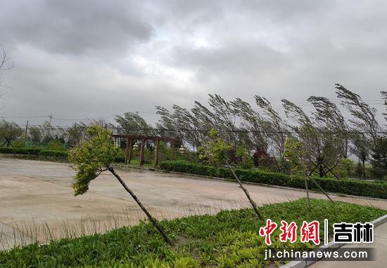 """""""美莎克""""过境,珲春树木被风吹得东倒西歪。(资料图)丁静/摄"""