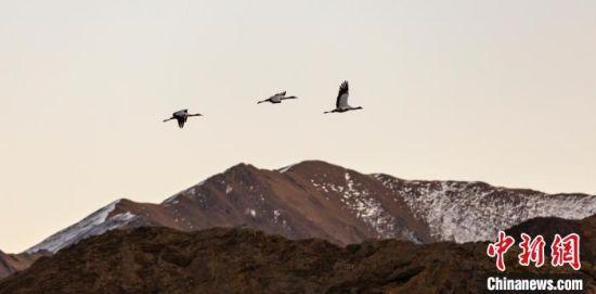图为在西藏越冬的黑颈鹤。(资料图) 张巍 摄