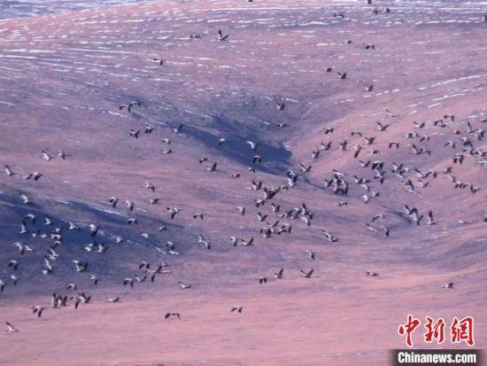 图为在嘉塘草原上飞翔的黑颈鹤。称多县委宣传部供图