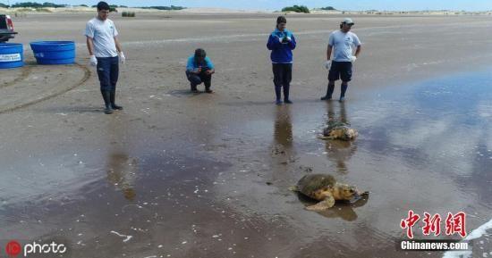 资料图:阿根廷海龟误食塑料垃圾引发致命感染,获救助痊愈重返海洋。