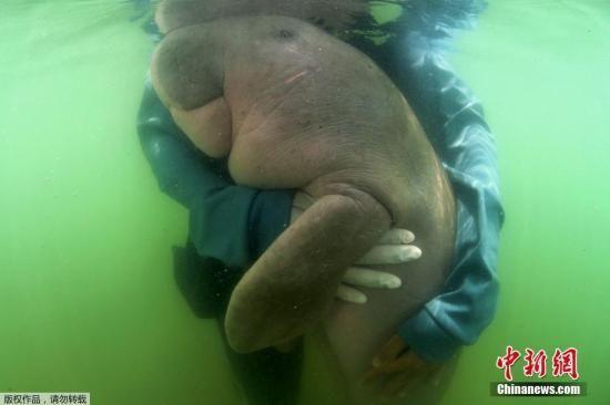 当地时间2019年8月17日,泰国一只名叫玛丽安(Mariam)的易危海洋生物儒艮宝宝突然休克,经急救无效不幸离世,死因是败血症及胃部化脓,医护人员也在其肠道发现少量的塑料垃圾。