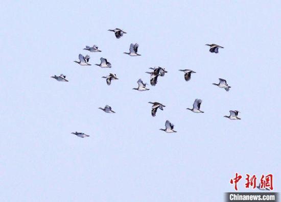飞翔中的大鸨种群。 潘晟昱 摄