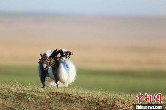 用华丽羽毛来炫耀的雄性大鸨。(资料图) 潘晟昱 摄