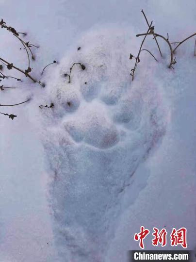 1月11日在敦化林区发现的野生东北虎足迹。吉林省林草局供图