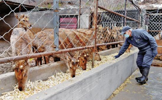 白山市浑江区六道江镇江沿村的盛兴养殖农民专业合作社通过梅花鹿养殖,实现增收致富。