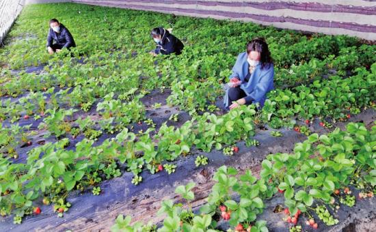 位于白山市江源区石人镇榆木桥子村的巾帼丰种植专业合作社发展日光温室,以租赁分红的形式带动30个贫困户49人脱贫。 (资料图片)