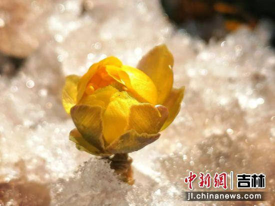 一缕春色悄然至:长春净月潭冰凌花开