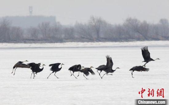 白头鹤在吉林九台湿地省级自然保护区(石头口门水库)栖息觅食。 赵冷冰 摄
