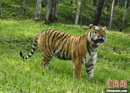 资料图为远红外相机拍摄的东北虎照片。 中新社发 东北虎豹国家公园管理局 供图