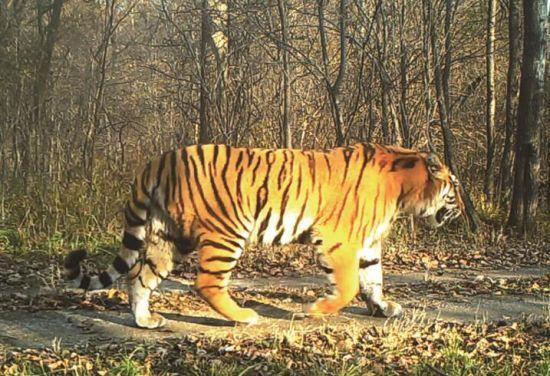 吉林省东北虎豹国家公园试点取得阶段性成效(中国新闻图片
