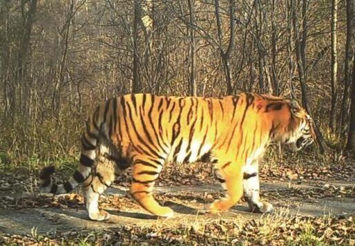 在吉林省珲春市拍摄到的东北虎。林业厅供图 在中国东北地区,有一片森林之王的领地。它地跨吉林、黑龙江两省,与俄罗斯、朝鲜接壤,总面积达146.12万公顷,是中国野生东北虎豹种群数量最多、活动最频繁、最重要的定居和繁育区域,也是当下各方十分关注的东北虎豹国家公园体制试点区。其中,吉林省境内面积103.